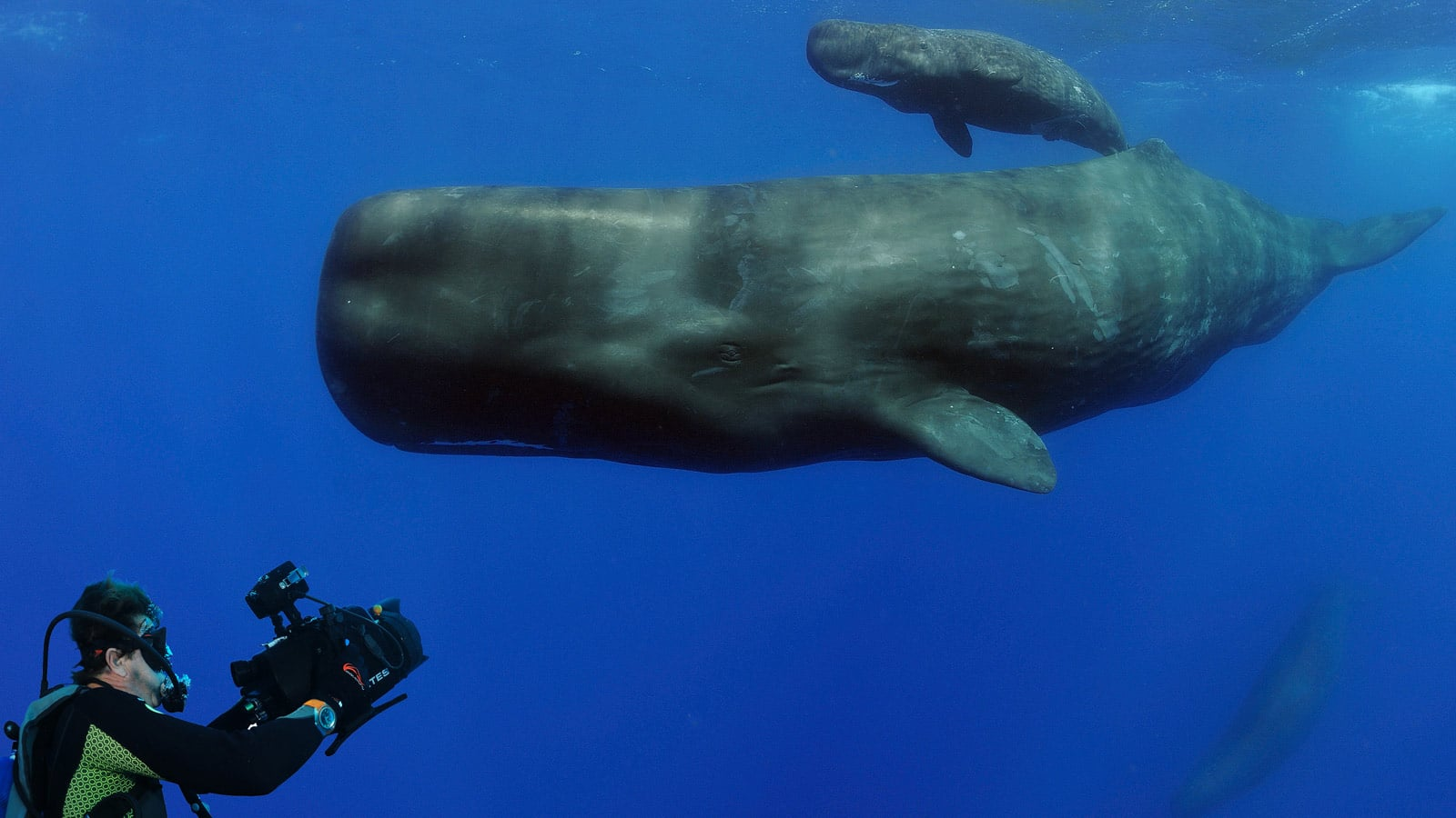 Cameraman diving with sperm whales