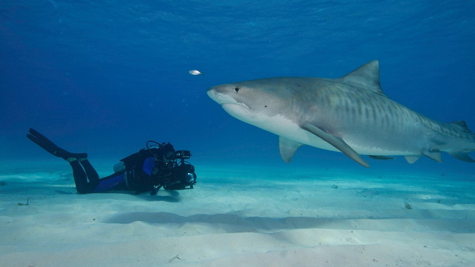 Cameraman diving with a shark